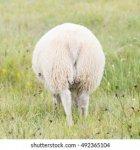 one-grazing-icelandic-sheep-back-260nw-492365104.jpg